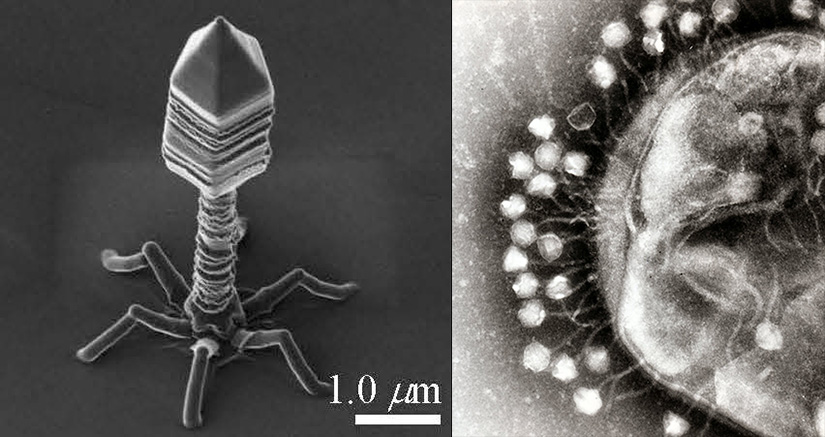 bacteriophage-microscopic